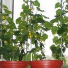 Полезные советы по выращиванию огурцов на подоконнике – часть 1