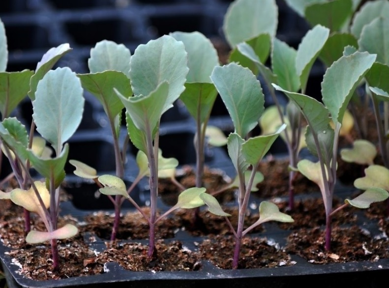 Подготовка семян капусты к посеву