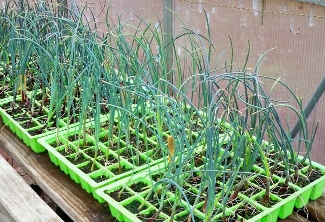 Выращивание рассады лука-порей