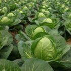 Полезные рекомендации по выращиванию белокочанной капусты