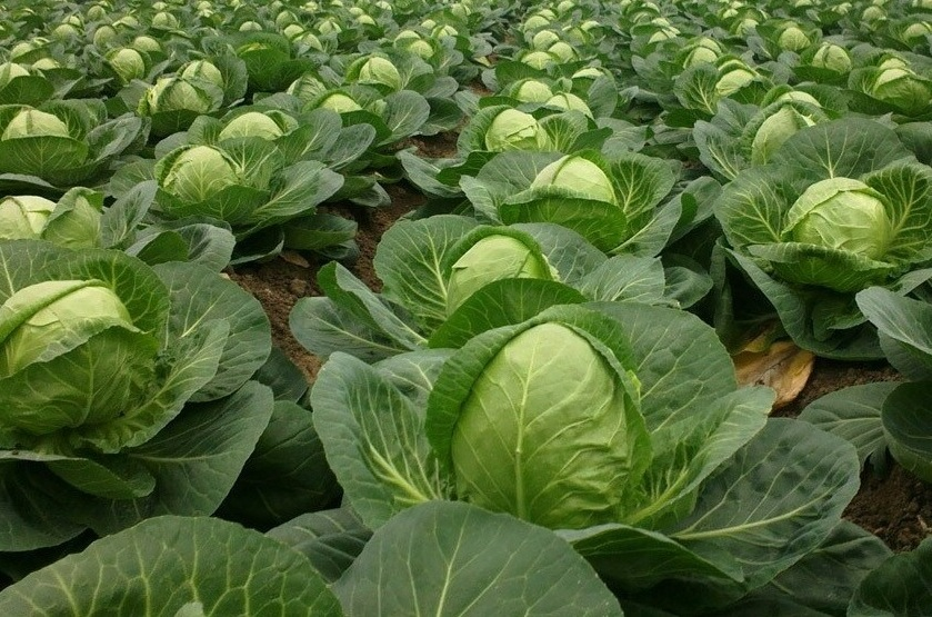 Агротехника выращивания капусты