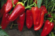 Почему эти сорта перца дают самый высокий урожай