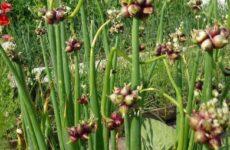 Лук многоярусный – описание, выращивание и уход