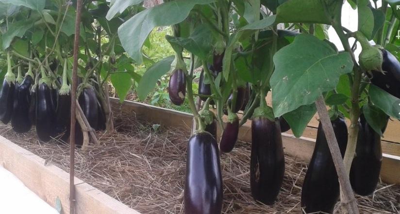 Особенности выращивания баклажанов в теплице