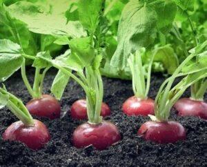 Подготовка почвы для редиса