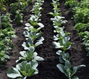 Подготовка участка для выращивания капусты