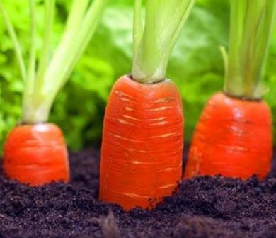 Потребности моркови