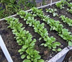 Способы выращивания редиса