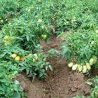 Томаты — лучшие сорта и гибриды для открытого грунта