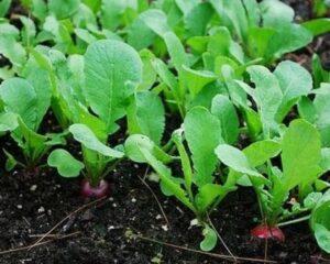 Условия для выращивания редиса