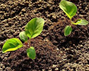 Условия выращивания рассады баклажанов