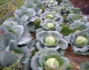 Выбираем сорта капусты белокочанной
