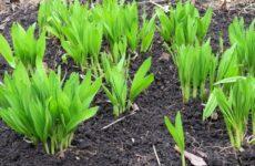 Как выращивать черемшу
