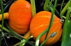 Мой опыт выращивания тыквы. Разбор ошибок