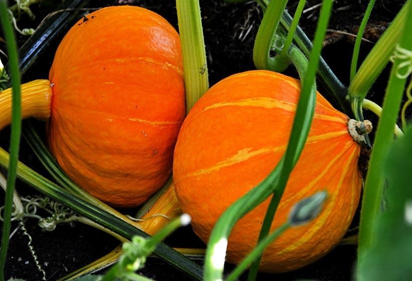 Выращивание тыквы