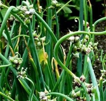 Выращивание многоярусного лука