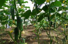 Как вырастить высокий урожай огурцов в теплице