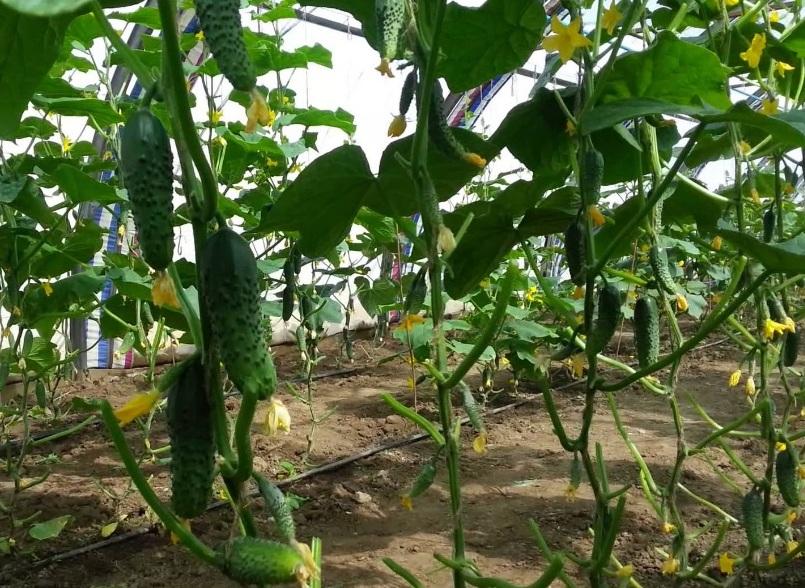 Агротехника выращивание огурцов в теплице