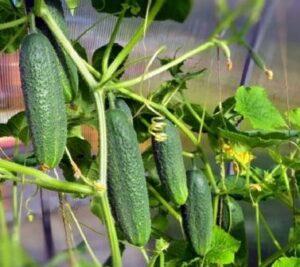 Рекомендации по выращиванию огурцов