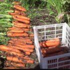 В какие сроки и как правильно собирать морковь