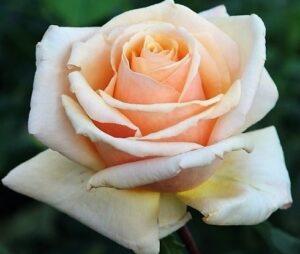 Роза бриллиантовая свадьба