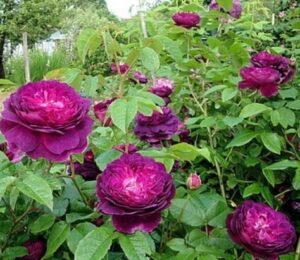 Чайно-гибридная роза Кардинал Ришелье