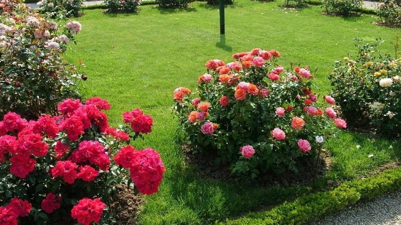 Основы классификации роз