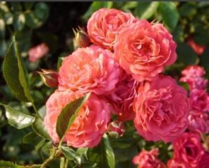 Полиантовая роза Оранж Триумф