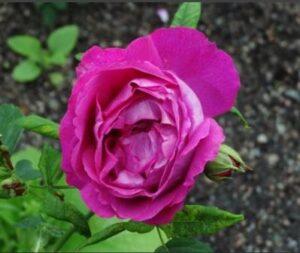 Ремонтантная роза Мадам Виктор Верди