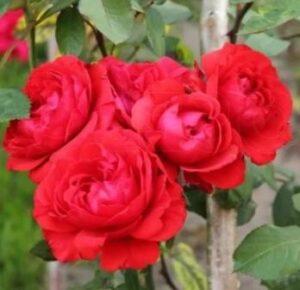 Роза флорибунда Файр Кинг