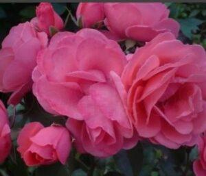 Роза патио Тип-Топ