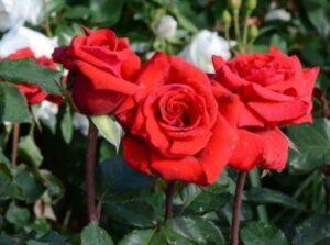 Роза шраб Берлин