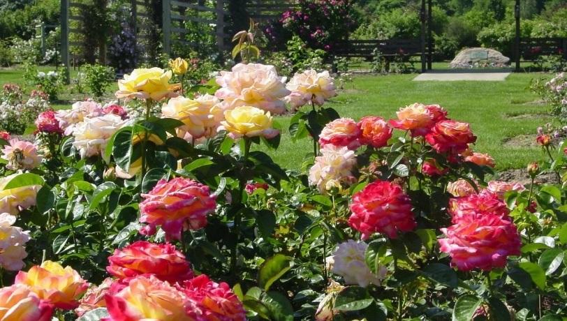 Виды и группы роз