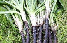 Чем привлекателен корень черный для огородников