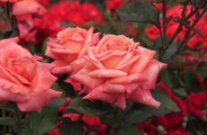 За что мы любим Чайно-гибридные розы