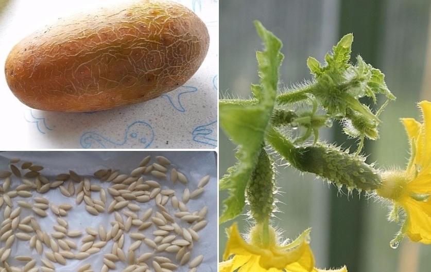 Как вырастить семена огурца