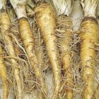 Овсяный корень – овощ со вкусом устрицы