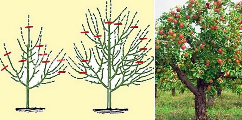 Формирование кроны молодой яблони