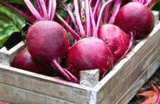 Инструкции, которые помогут правильно организовать сбор урожая свеклы