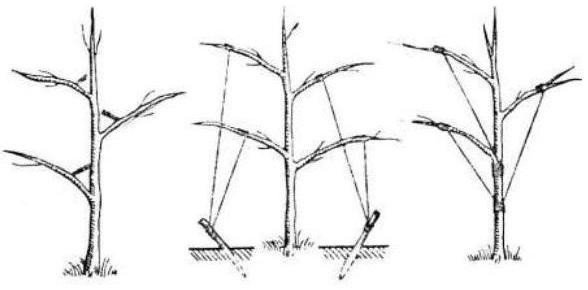 Способы оттягивания ветвей