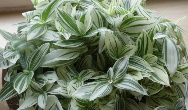 Традесканция белоцветковая (T. albiflora)