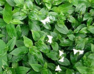 Традесканция белоцветковая (T. Albiflora Kunth)