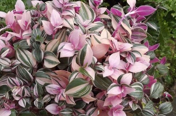 Традесканция белоцветковая (T. Albiflora Quadricolor)