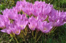 Цветок-фантом – колхикум