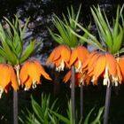 Как выбрать фритиллярию, которая будет ежегодно и пышно цвести