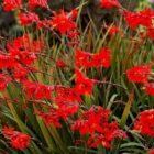 Что цветоводы должны знать о цветке монтбреция