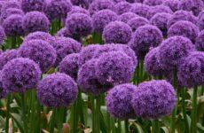 Какой декоративный лук выбрать цветоводу