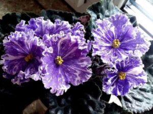 Фиолетовая крупноцветковая сенполия