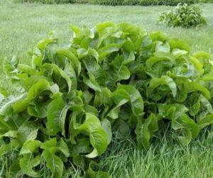Хрен - описание растения
