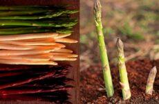 Самый проверенный способ успешного выращивания спаржи
